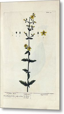 St John's Wort Plant Metal Print by National Library Of Medicine