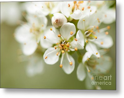 St Lucie Cherry Blossom Metal Print by Anne Gilbert