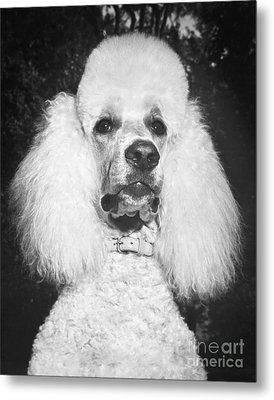 Standard Poodle Metal Print by ME Browning