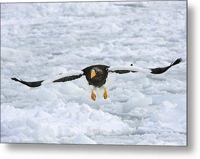 Stellers Sea Eagle Flying Hokkaido Japan Metal Print by Thomas Marent