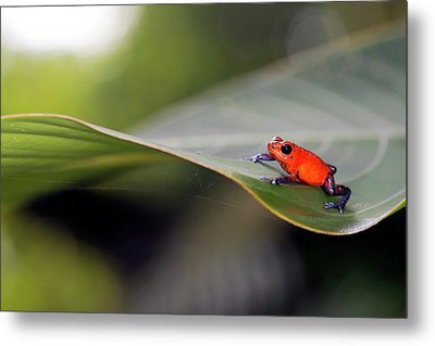 Strawberry Poison Frog Metal Print by Nicolas Reusens