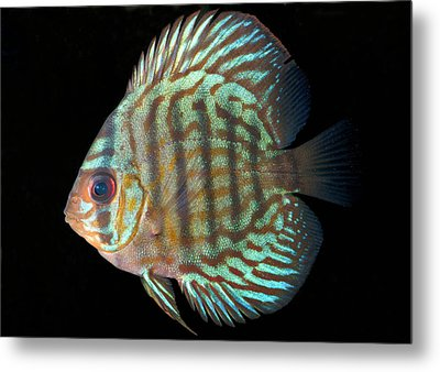 Striped Turquoise Discus Metal Print by Nigel Downer