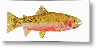 Study Of A Westslope Cutthroat Trout Metal Print by Thom Glace
