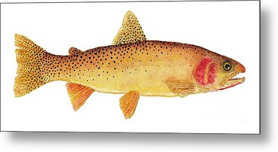 Study Of A Yellowstone Cutthroat Trout Metal Print by Thom Glace