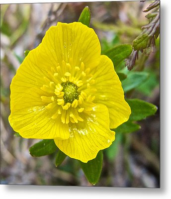 Subalpine Buttercup On Consolation Lakes Trail In Banff Np-ab  Metal Print by Ruth Hager