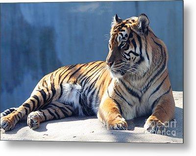 Sumatran Tiger 7d27276 Metal Print by Wingsdomain Art and Photography