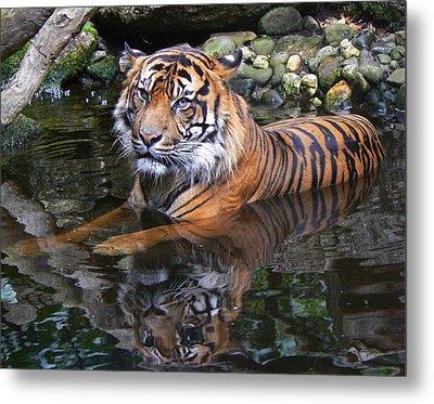 Sumatran Tiger Keeping Cool In Summer Metal Print by Margaret Saheed