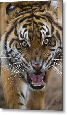 Sumatran Tiger Male Snarling Native Metal Print by San Diego Zoo