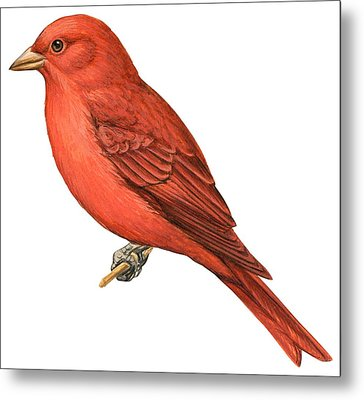 Summer Tanager  Metal Print by Anonymous