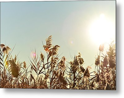 Sun Shining Over Reed Grasses Metal Print by Tetyana Kokhanets