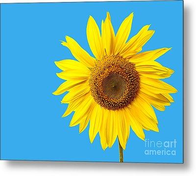 Sunflower Blue Sky Metal Print by Edward Fielding