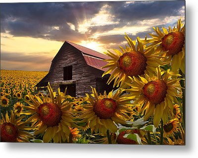 Sunflower Dance Metal Print by Debra and Dave Vanderlaan