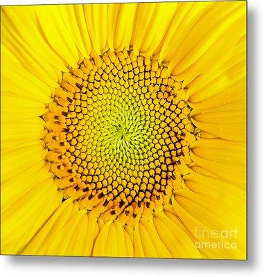 Sunflower  Metal Print by Edward Fielding