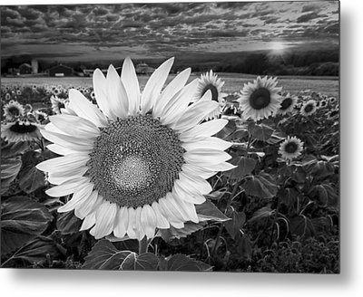 Sunflower Field Forever Bw Metal Print by Susan Candelario