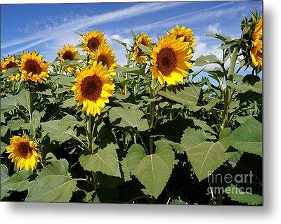 Sunflower Field Metal Print by Kerri Mortenson