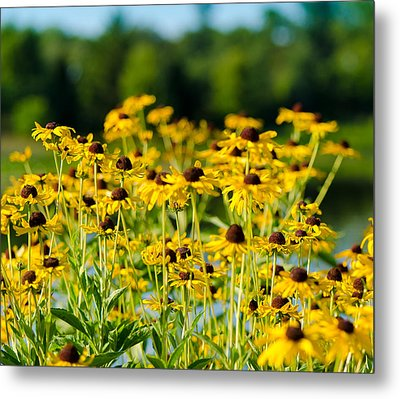 Sunflower Patch Metal Print by John Ullrick