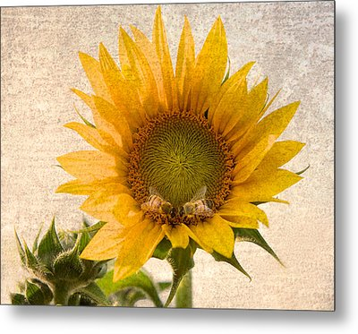 Sunflower - Sun Kiss Metal Print by John Hamlon