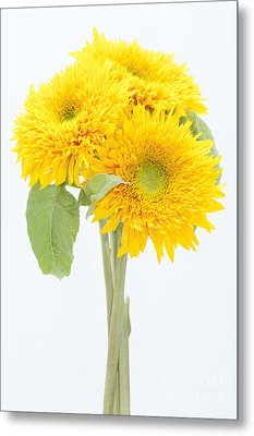 Sunflower Trio Metal Print by Anne Gilbert