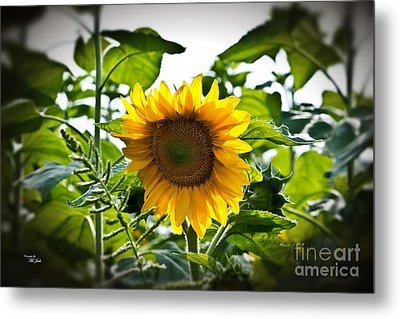 Sunflower Vignette Edges Metal Print by Ms Judi