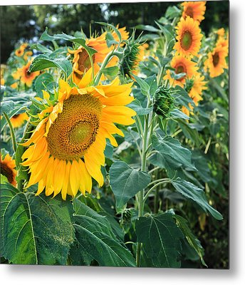 Sunflowers For Wishes Metal Print by Bill Wakeley