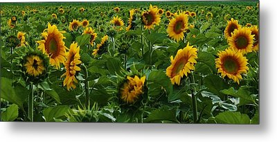 Sunflowers Galore Metal Print by Bruce Bley