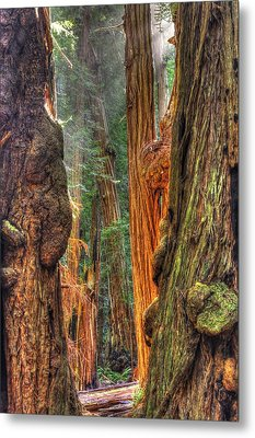 Sunlight Beams Into The Grove Muir Woods National Monument Late Winter Early Afternoon Metal Print by Michael Mazaika