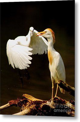 Suprised Cattle Egret Metal Print by Robert Frederick