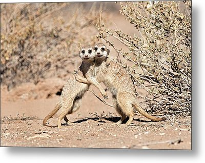 Suricates At Play Metal Print by Tony Camacho