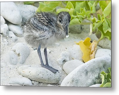 Swallow-tailed Gull Chick Metal Print by William H. Mullins