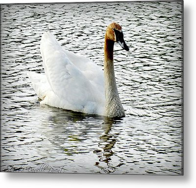 Sweet Swan Swimming Metal Print by Danielle  Parent