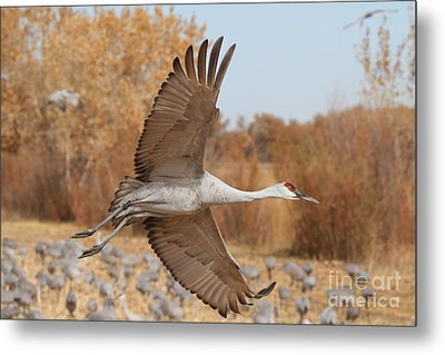 Swooping Sandhill  Metal Print by Ruth Jolly