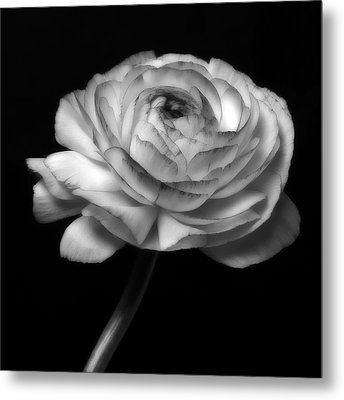 Black And White Roses Flowers Art Work Photography Metal Print by Artecco Fine Art Photography