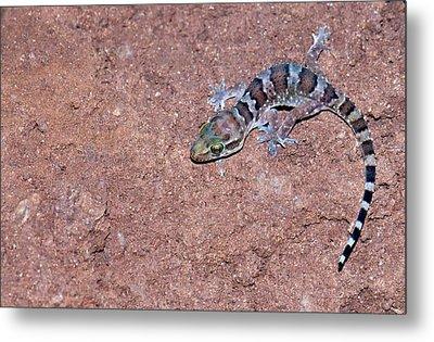 Termite Hill Gecko Metal Print by K Jayaram