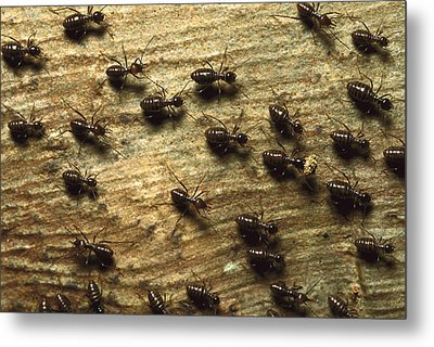 Termites On Wood With One Carrying Metal Print by Konrad Wothe