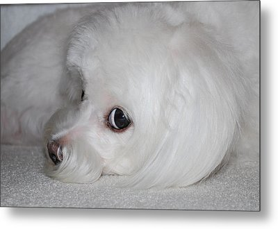 That Puppy Look Metal Print by Mary Beth Landis
