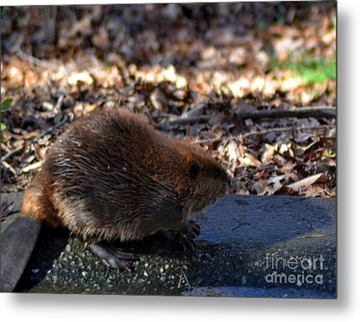 The Beaver Metal Print by Eva Thomas