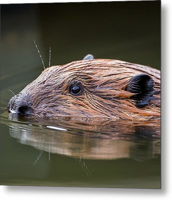 The Beaver Square Metal Print by Bill Wakeley