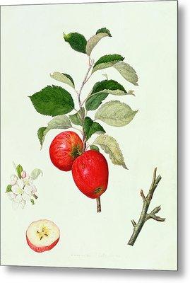 The Belle Scarlet Apple Metal Print by Barbara Cotton