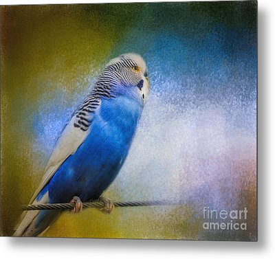 The Budgie Collection - Budgie 2 Metal Print by Jai Johnson