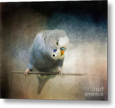 The Budgie Collection - Budgie 3 Metal Print by Jai Johnson