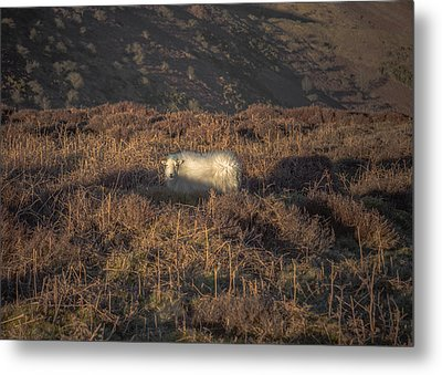 The Cloud Sheep Metal Print by Chris Fletcher