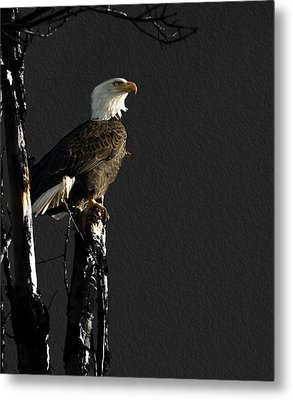 The Great Bald Eagle 1  Metal Print by Thomas Young