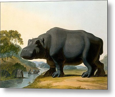 The Hippopotamus, 1804 Metal Print by Samuel Daniell