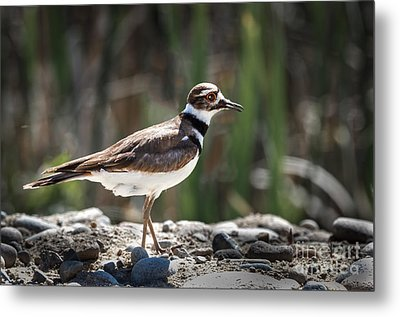 The Killdeer Metal Print by Robert Bales