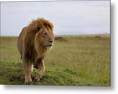 The Most Beautiful Lion Of The Masai Mara Metal Print by Maggy Meyer