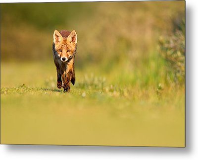 The New Kit On The Grass - Red Fox Cub Metal Print by Roeselien Raimond