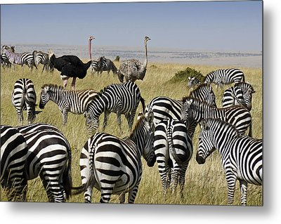 The Odd Couple Metal Print by Michele Burgess