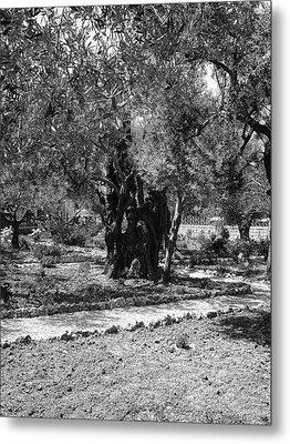 The Olive Tree At Gethsemane Metal Print by Sandra Pena de Ortiz