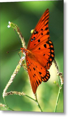The Passion Butterfly Metal Print by Kim Pate