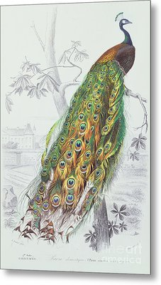 The Peacock Metal Print by A Fournier